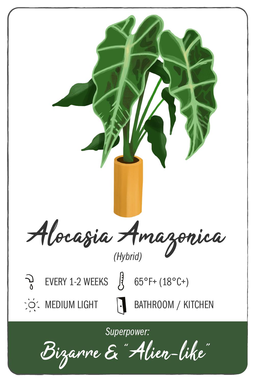 alocasia amazonica - climadoor