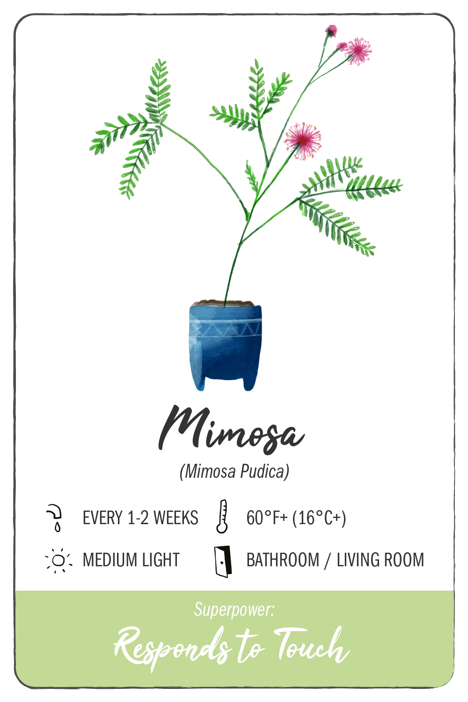 mimosa plant - climadoor